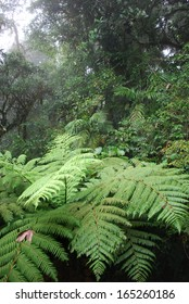 Cloud forest fern tree, Monteverde National Park, Costa Rica