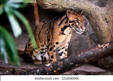 Cloud leopard hide in the shade