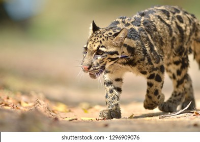 Cloud leopard (Neofelis Nebulosa) in nature, rare creatures