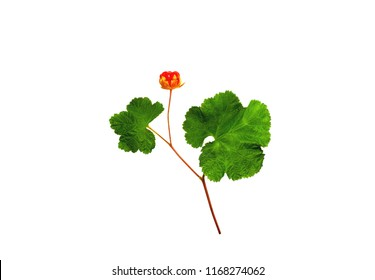 cloudberries with leaves isolated on a white background