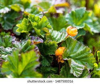Cloudberries ready to be harvested. Plants with cloudberries shining in the sun.