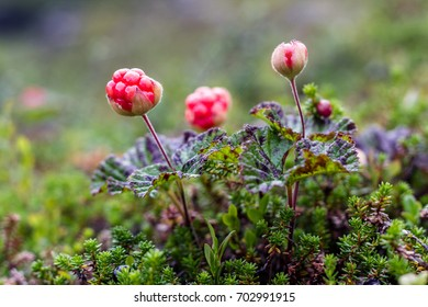 Cloudberries  ripen slowly, cold summer was