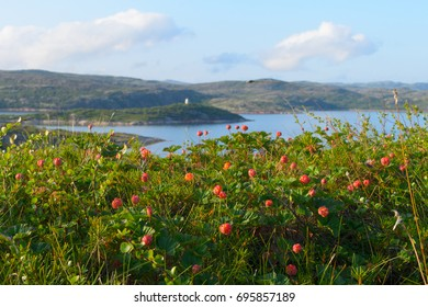 Cloudberries in the tundra ,hills and the sea.Horizontal.