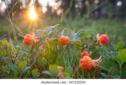 Cloudberries, wild fruit from the arctic region.