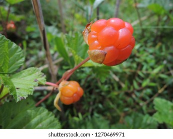 Cloudberry against a natural background. Rubus chamaemorus is a rhizomatous herb native to cool temperate regions, alpine and arctic tundra and boreal forest
