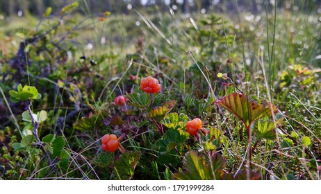 Cloudberry closeup in a fjeld in Swedish Lapland
