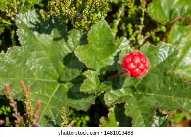 Cloudberry growing in a swamp area, picture taken in Sweden region Dalarna