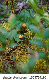 cloudberry grows in the forest, close-up, moss