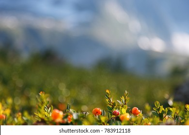 Cloudberry grows in the forest. North Karelia. Russia