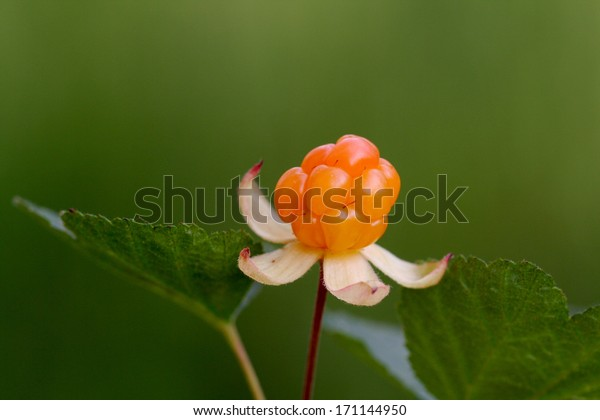 Cloudberry is a healthy natural berry, it contains a lot of vitamin C
