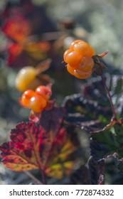 Cloudberry (moroshka) in Urals  mountains