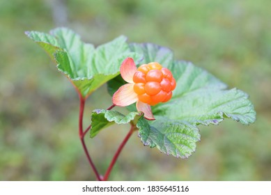 Cloudberry plant with orange colored ripe fruit growing in a forest