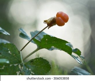Cloudberry, Rubus chamaemorus fruit, reflections in the background