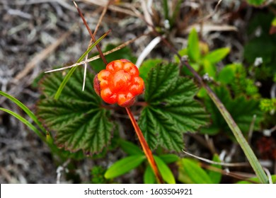 A cloudberry (Rubus chamaemorus) growing in Newfoundland and Labrador, Canada. It is known toNewfoundlanders as the bakeapple
