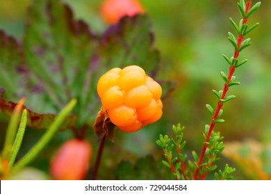 cloudberry, rubus chamaemorus, landmark of lapland