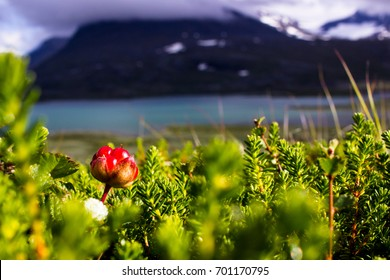 Cloudberry in Sweden, Abisko national park.
