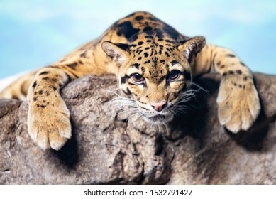 Clouded Leopard Big Cat Laying on Rock Stare at You
