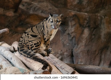 Clouded Leopard close up portrait in zoo