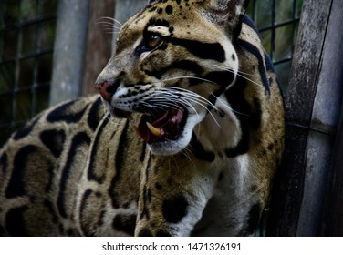 The clouded leopard; also know as the modern day sabertooth cat patiently made her way around her enclosure as she waited for lunch. Small, but powerful she is an intimidating and beautiful animal.