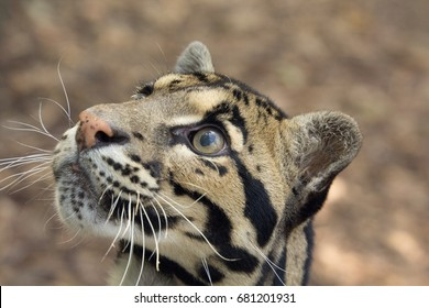 Clouded leopard looks up expectantly.