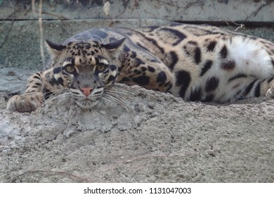 Clouded Leopard (Neofelis nebulosa) is native to the forests of East Asia. Its cousin species, N. nebulosa brachyurus is driven to extinction due to habitat loss from development in Taiwan since 1989.