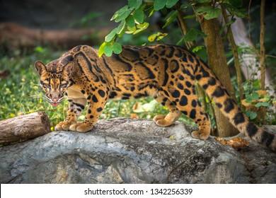Clouded Leopard Neofelis nebulosa in it's natural habitat