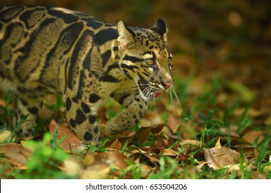 Clouded Leopard (Neofelis Nebulosa) in nature
