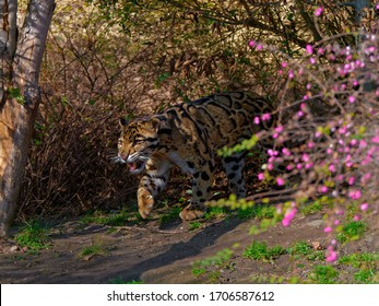The clouded leopard, Neofelis nebulosa, is a wild cat occurring from the Himalayan foothills through mainland Southeast Asia into southern China.
