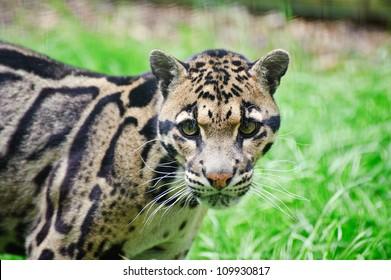 Clouded leopard Neofelis Nebulova big cat in captivity