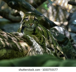 Clouded leopard on a branch