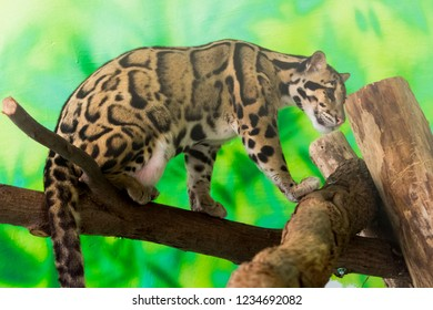 Clouded leopard on a tree