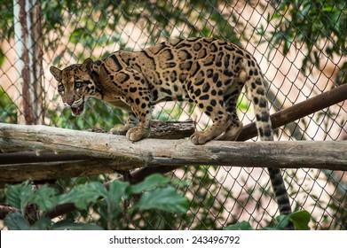 Clouded Leopard on Tree Branch