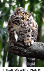clouded leopard on trees