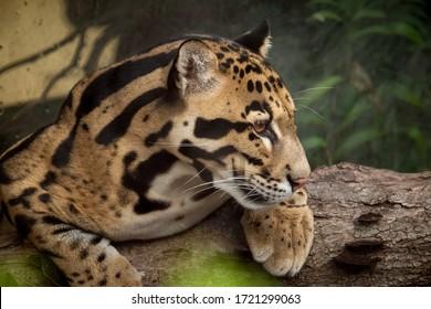 Clouded Leopard portrait - Neofelis nebulosa