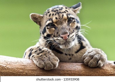 A clouded leopard resting on a branch