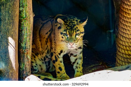 Clouded leopard rests in the shadow, in National Zoo.