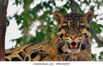 clouded leopard showing his teeth