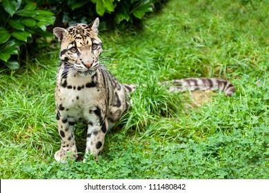 Clouded Leopard Sitting on Grass Pensive Neofelis Nebulosa