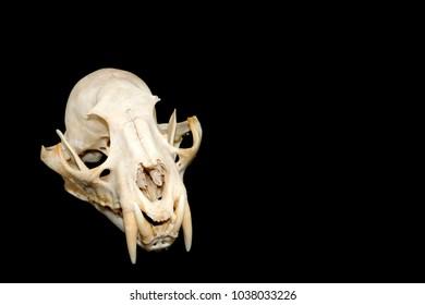 clouded leopard skull on black background.