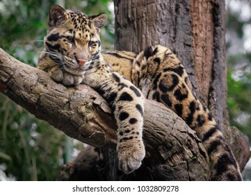 Clouded leopard in tree