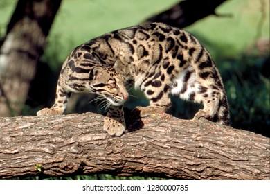 Clouded leopard in a tree