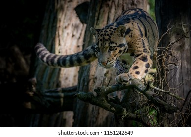 Clouded leopard walking down some branches