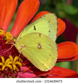 Clouded sulphur butterfly (Colias philodice) sipping nectar from red zinnia (Z. elegans) in northern New Jersey garden September 2016