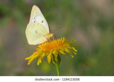 A Clouded Sulphur Butterfly is collecting nectar from a Common Dandelion. Hanlan's Point, Toronto, Ontario, Canada.