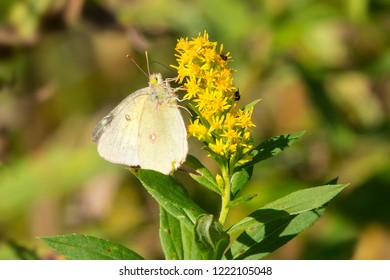 Clouded Sulphur Butterfly collecting nectar from a yellow Goldenrod flower. Rouge National Urban Park, Toronto, Ontario, Canada.