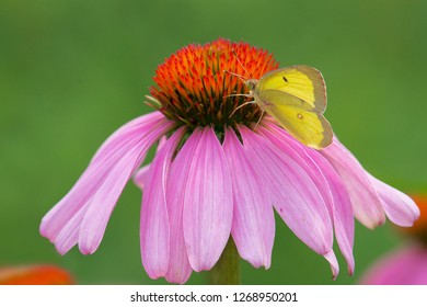 Clouded Sulphur Butterfly collecting nectar from a Purple Coneflower. Also known as a Common Sulphur. Edwards Gardens, Toronto, Ontario, Canada.