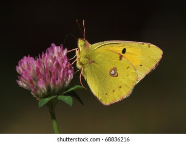 A Clouded Yellow butterfly (Colias croceus) sucking nectar from a clover flower.