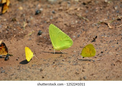A Cloudless Sulfur Butterfly along with a Yellow Sulfur Butterfly in Cades Cove, Smoky Mountains National Park, Tennessee.