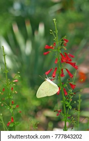 Cloudless sulphur butterfly (phoebis sennae) on a red firecracker penstemon flower in Arizona