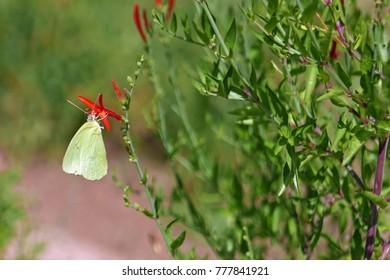 Cloudless sulphur (phoebis sennae) butterfly feeding on a red flower in Arizona
